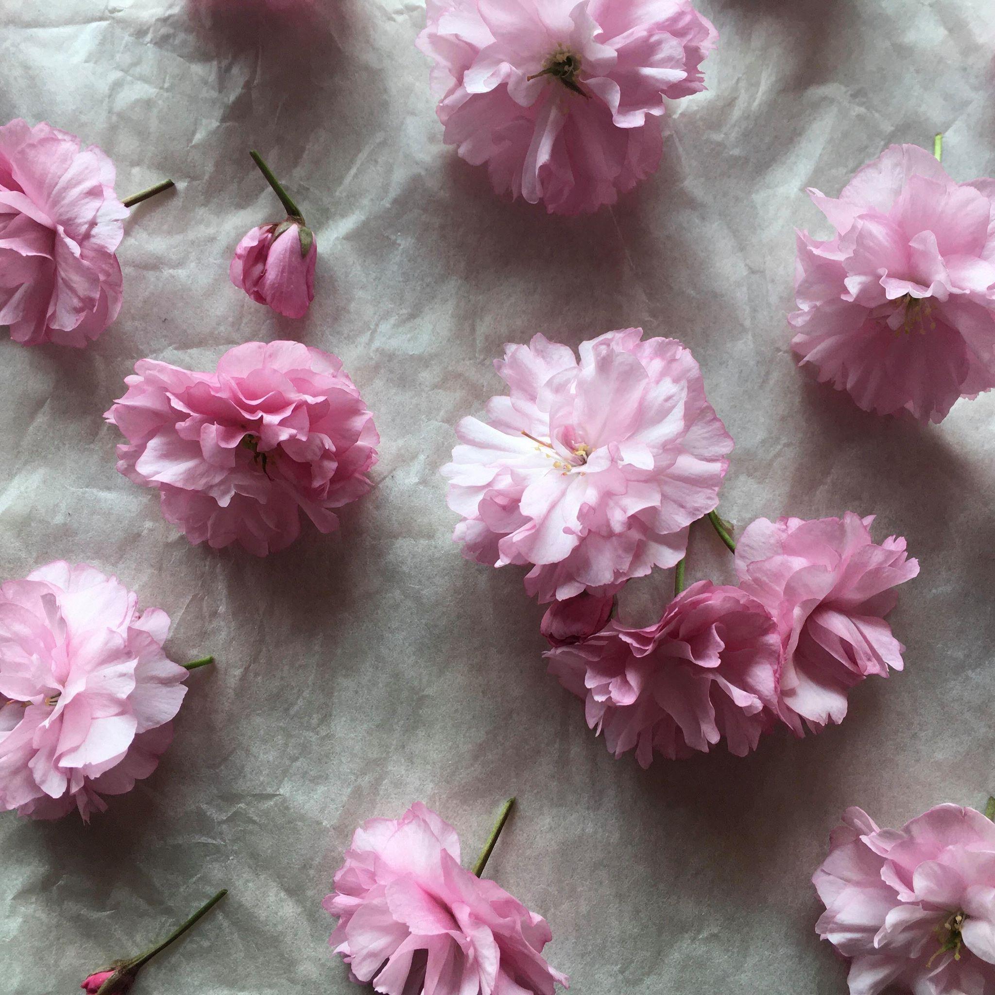 美山の八重桜