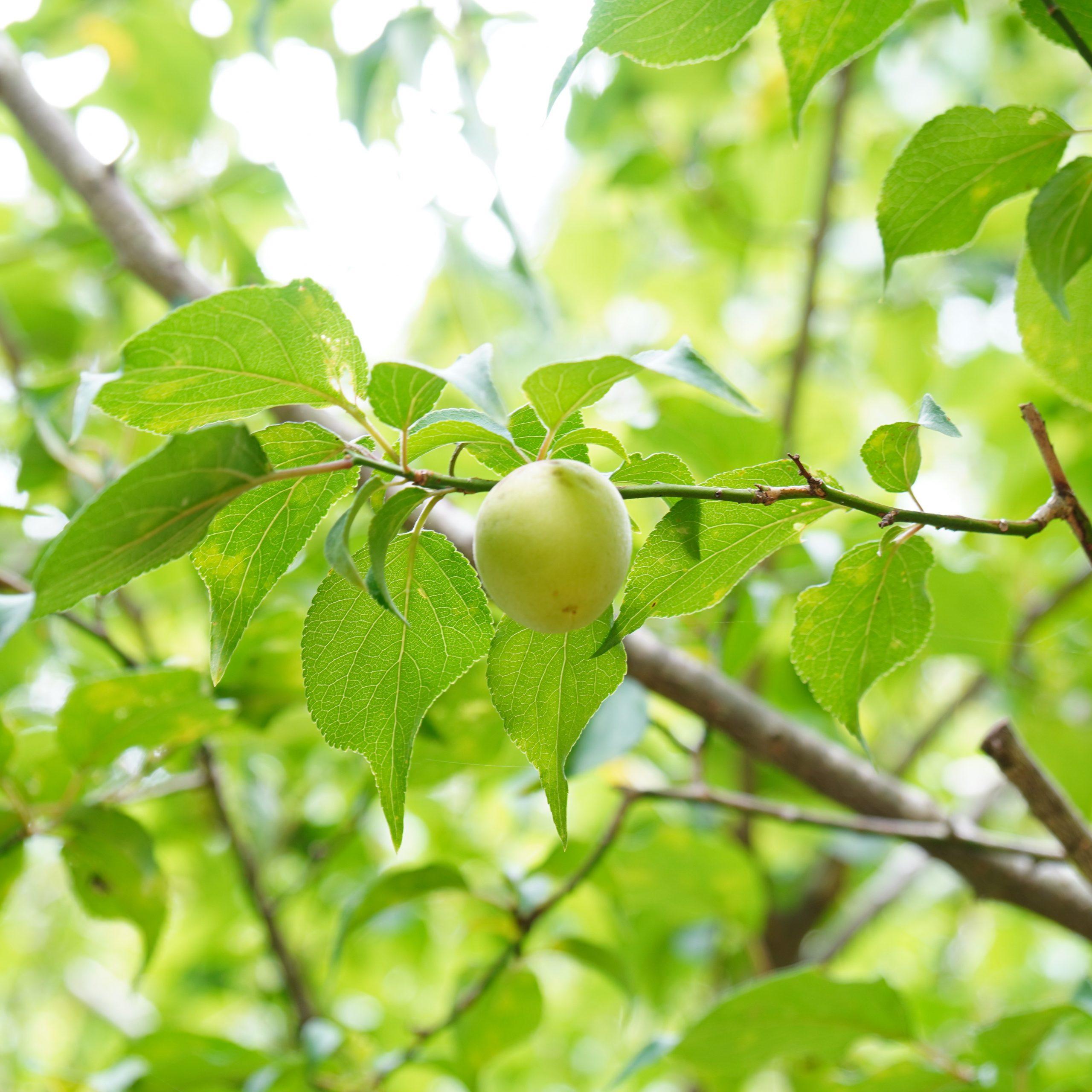 mumokuteki 完熟梅の収穫