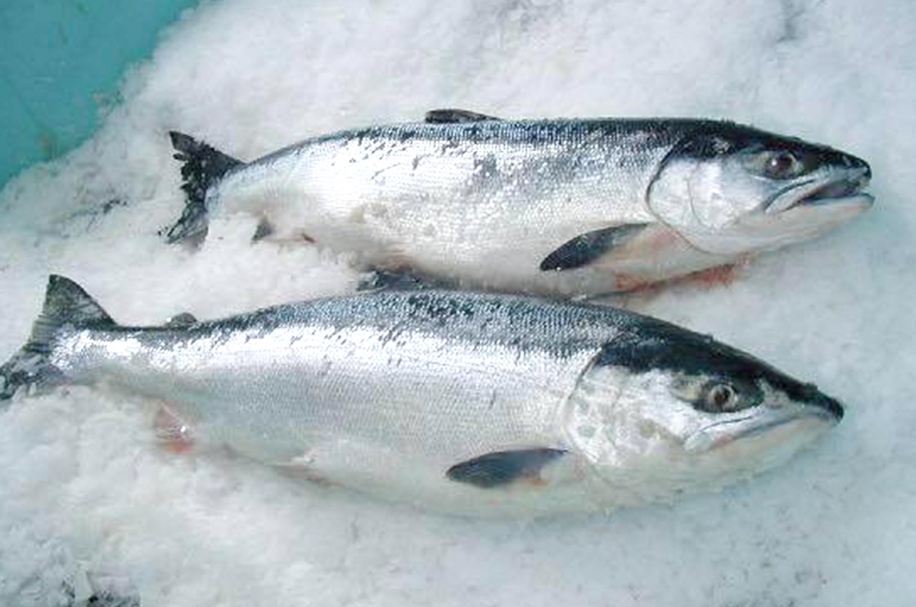 Wild Salmon Sasaki